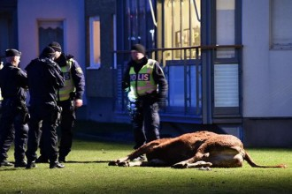 Cow ran loose among residential buildings in Malmo - shot dead